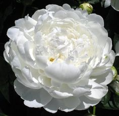 Hollingsworth Peonies - White Ivory