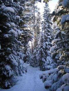 Snow Covered Evergreen Trees Amazing World Snow
