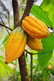 """Buy the royalty-free Stock image """"Cacao-beans (chocolate tree), Bali, Indonesia"""" online ✓ All image rights included ✓ High resolution picture for print,. Tree With Pods, Cocoa Plant, Chocolate Tree, Cacao Beans, Trees To Plant, Beautiful Flowers, Plants, House, Food"""
