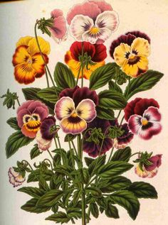 pansy and daisy drawing - Google Search