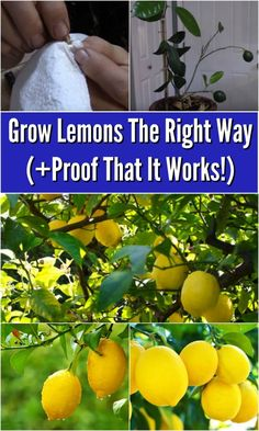 Grow Lemons The Right Way (Proof That It Works!) is part of How to grow lemon - I have tried so hard to get lemon trees to grow I've literally given it three attempts now, and every time was a complete failure I don't have a green thumb, so I expected it Fruit Garden, Edible Garden, Vegetable Garden, Growing Lemon Trees, Growing Plants, Citrus Trees, Fruit Trees, Lime Trees, Potted Trees