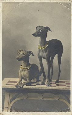 Whippet dogs wearing Jingle Bell collars