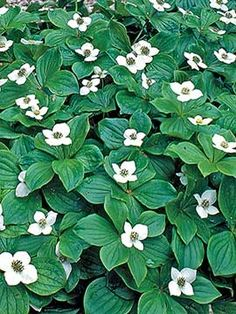 Dogwood, Bunchberry - for under pine trees