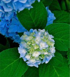 Little Hydrangea