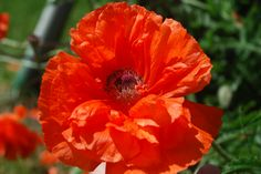 Poppy, Red Flower, Nature Photography, Instant Download, Wall Art, Digital Stock Photo by OrangePeelPaperie on Etsy