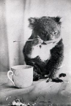 Питомец коала пьет из ложки, Австралия, ок. 1900 г. СПЛЕТНИК