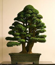 Amazing Neea buxifolia