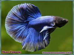 gambar binatang ikan cupang