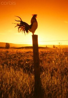 No one says good morning like a farm rooster! Country Farm, Country Life, Country Girls, Country Living, Country Roads, The Animals, Farm Animals, Gallus Gallus Domesticus, Foto Fun