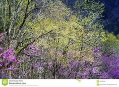Redbud Tree Blooms And New Growth In The Smokies. Stock Photo ...