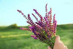 Clary sage is one of the top essential oils for balancing