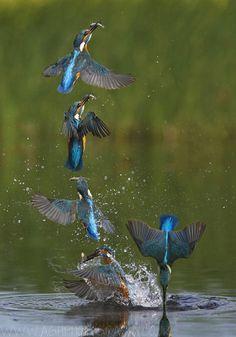 Sequenza di Martin Pescatore che fuoriesce dall'acqua con la preda