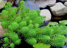 Parrot's Feather (Myriophyllum Aquatica). An agressive floater, they can take over a pond but are more controlled in containers. www.ContainerWaterGardens.net/water-garden-plants