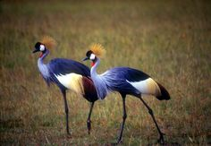 Grey Crowned Cranes, Yanzania