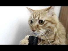 Cat plays with vacuum cleaner (ORIGINAL)