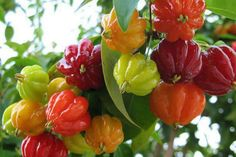 Cheap plants for homes, Buy Quality cherry seeds directly from China rare plants Suppliers: Surinam Cherry seeds, Pitanga fruit seeds,Brazilian Cherry{red} ,rare plant for home & garden Fruit And Veg, Fruits And Vegetables, Fresh Fruit, Fruit Box, Cherry Seeds, Fruit Seeds, Strange Fruit, Pepper Seeds, Beautiful Fruits