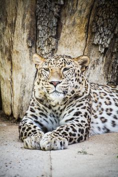 predator, beautiful and powerful leopard resting in the sun   #africa #african #angry #animal #animals #background #beast #big #black #carnivore #cat #close #closeup #cut #danger #dangerous #environment #eye #face #fast #feline #fur #hunter #isolated #jungle #leopard #looking #mammal #nature #nobody #outdoors #panthera #park #people #portrait #powerful #predator #safari #shot #sitting #spot...