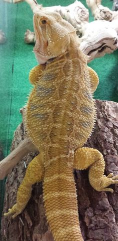 T REX. Bearded dragon
