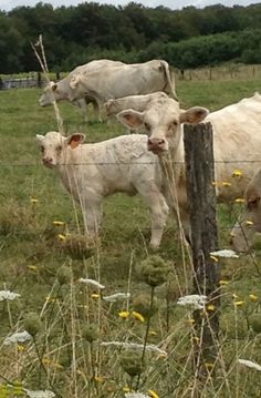 Moo to you too!  French beef is grass fed and pasture raised.