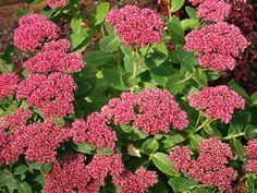 Sedum telephium 'Herbstfreude', Høstbergknapp, Crassulaceae Bergknappfamilien, STAUDE