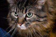 Portrait of cat - Griffin