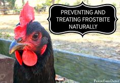Treating and Preventing Frostbite in Chickens Naturally ~ Fresh Eggs Daily