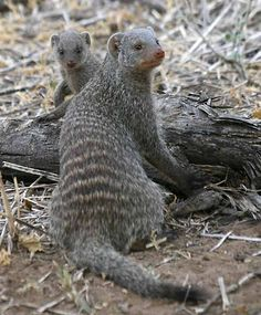 A group of banded mongooses is called a troop, which is made up of 5 to 30 mongooses. They live in dens which are usually burrows that other animals have abandoned, and they mark their territory using a scent that they secrete. Banded mongooses typically stay on the ground but they are good climbers and can swim to avoid danger.