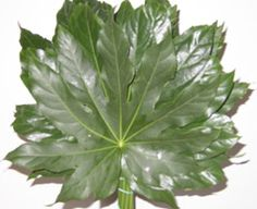 Fatsia Leaves_625