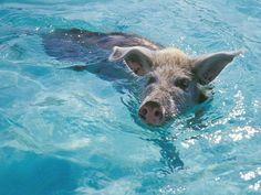 The Swimming Pig!