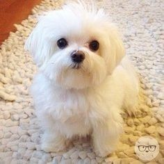 Can't say no to a bedtime snack when he asks so politely. Isn't he adorable! I miss my Maltese Sandy. He was a wonderful dog. Tiny Puppies, Teacup Puppies, Cute Dogs And Puppies, Teacup Maltese, Doggies, Maltese Poodle, Maltese Dogs, Cute Funny Animals, Cute Baby Animals