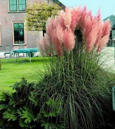 "25 Pink Pampas Grass Plants - Cortaderia selloana rosea - 2.5"" Pot - Walmart.com"