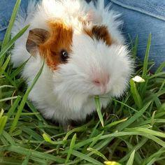 how to bath your guinea pig