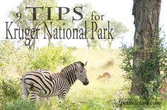 Kruger National Park, South Africa, safari, zebra