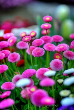 Pink Buttons Optimal Growing Conditions Appearance and Characteristics Sun Exposure Full Sun or Partial Shade Soil Type Normal or Sandy or Clay Soil pH Neutral or Alkaline or Acid Soil Moisture Average Care Level Easy Flower Colour Light Pink Blooming Time Early Summer Mid Spring Late Spring