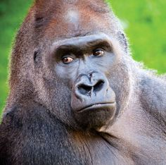 philly zoo lowland gurilla | jabari a western lowland gorilla had severe inflammation under his ...