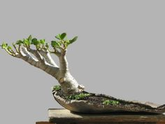 The plant responds to leaf pruning or removal by quickly sending out new, small leaves. Use this natural trait to your advantage with jade bonsai… Jade Plant Bonsai, Succulent Bonsai, Juniper Bonsai, Jade Plants, Bonsai Plants, Bonsai Garden, Planting Succulents, Succulent Wall, Succulents Garden