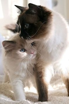 Animais domésticos #animals #cats #gatos