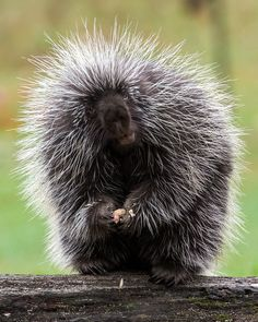 """Porcupine Looking"" by Chris Harrison  ""got a porkapine in your froat?"""
