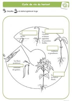 La germination - cycle de vie des plantes La Germination, Technology Humor, Cycle 3, Classroom Organization, Botany, Holidays And Events, Science Nature, Kids Learning, Homeschool