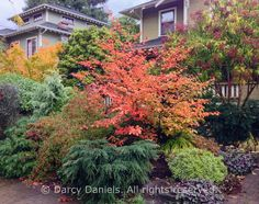 Darcy Daniels of Bloomtown Gardens visits a client's front yard garden in glorious fall color. Front Yard Flowers, Front Flower Beds, No Grass Yard, Landscape Design, Garden Design, Garden Art, Garden Posts, Heuchera, Front Yard Landscaping
