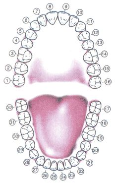 Tooth Meridian Chart 	(teeth and meridians, meridian tooth chart) 	Click a tooth to reveal its corresponding organ and possible emotional connection.