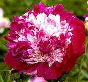 Nellie Saylor - Probably the most festive of Imperial peonies; from the center of deep wine red guard petals out bursts a gala mound of white, cream, pink and red petaloids and the party lasts for weeks Peony Flower, My Flower, Flower Power, Dahlia, Amazing Flowers, Beautiful Flowers, Peonies Garden, Types Of Flowers, Flower Images