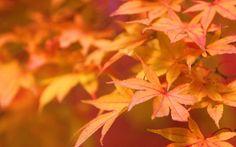 autumn (season) leaves plants  / 1920x1200 Wallpaper