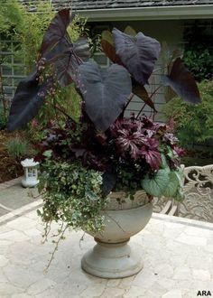 Colocasia Black Magic Brunnera Jack Frost Begonia Benitochiba Heuchera Black Beauty http://media-cache6.pinterest.com/upload/67483694386444872_KYzYL5WZ_f.jpg michenn garden goodies