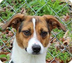 Hagerstown, MD - Beagle/Mountain Cur Mix. Meet Chloe, a dog for adoption. http://www.adoptapet.com/pet/17900898-hagerstown-maryland-beagle-mix