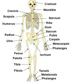 "posture quiz time: what are the ""common"" names for the following, Skeleton"
