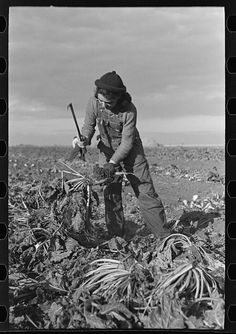 Young girl working in the beet fields, near Fisher, Minnesota. By Photographer Russell Lee, 1903-1986