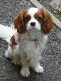 King Charles Spaniel Rescue | He is housetrained but sometimes gets a bit excited. Reuben has been ...