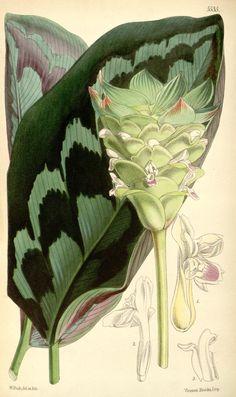 CALATHEA VEITCHIANA - Arrowroot. v.91 [ser.3:v.21] (1865) - Curtis's botanical magazine. - Biodiversity Heritage Library