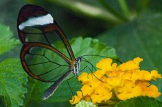The Glasswing Butterfly (Greta oto) - Beautiful and fascinating.